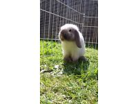 4 mini lop rabbits for sale.. plus 2 large cages and an outdoor run ALL £10 EACH