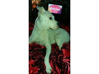 staff x anerican bulldog for sale