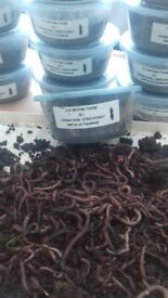 Lob worms and Dendrobaena worms for sale
