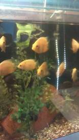 Tropical fish gold severums