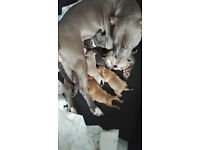 Blue Staffy Pups For Sale