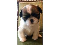 pure bred miniature shih tzu puppies