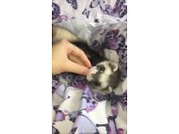 2 year old neutered ferret for sale with cage and accessories.