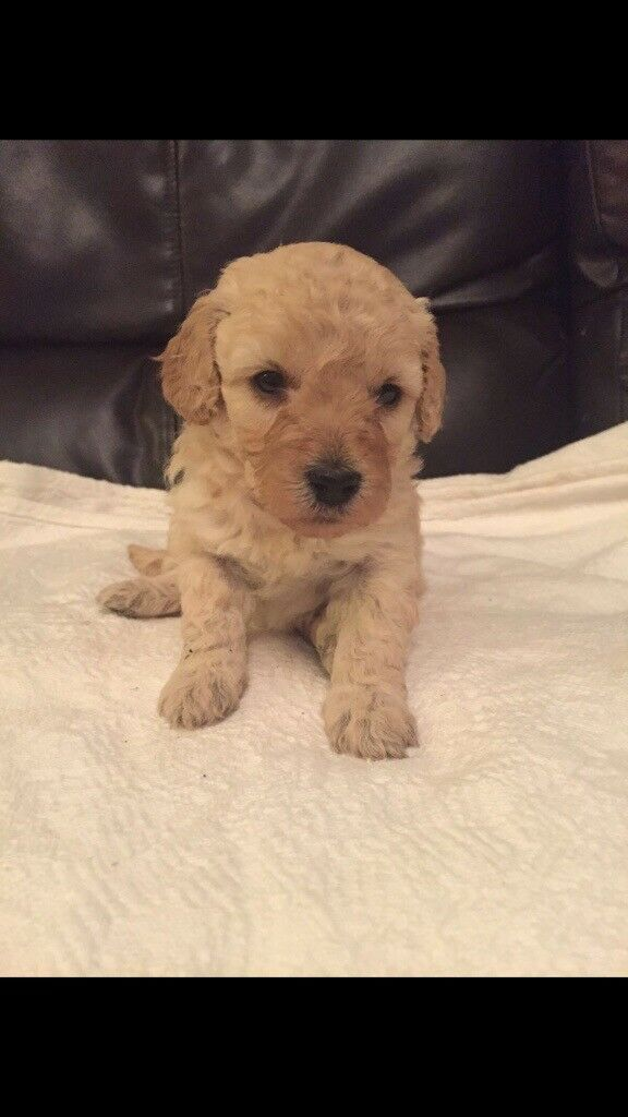 Stunning f1b cockapoo puppies | in Bridgend | Gumtree