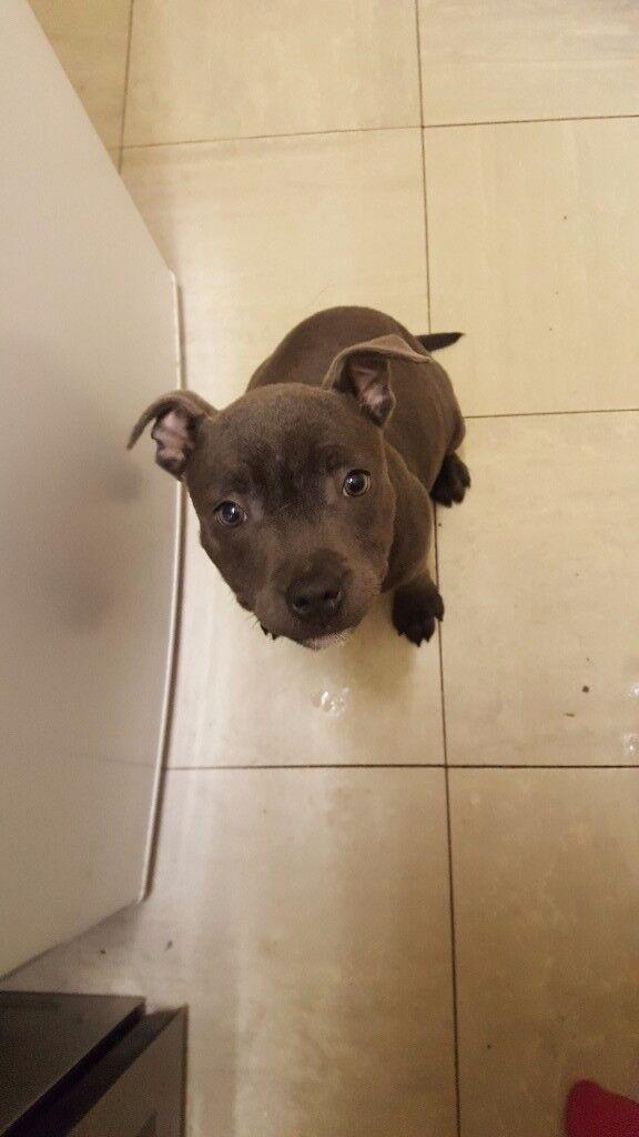 blue staffy puppy