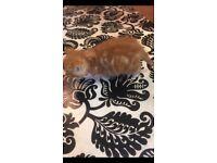 Ginger girl kitten