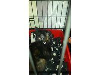 black tortoise shell 12 wk kitten
