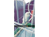 White budgie found today on West Rd , Newcastle. Looking after it at present until owner asks for it