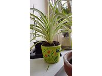 Spider plant and Chrisantemums