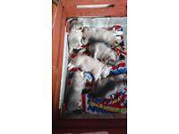 Alaskan Malamute Puppies 🐾