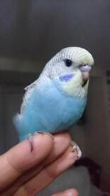 Budgie young, tamed