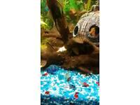 Female Plecos 2 to 3 inch