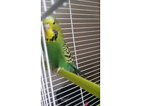 budgie for sale needs gone quick
