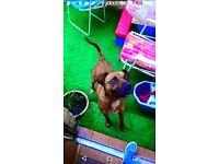 Boxer cross dog