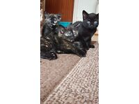 8 week old female kittens blackburn £15