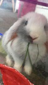 Baby white lop rabbit