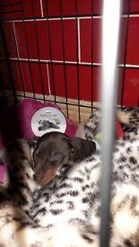 PRA CLEAR KC mini dachshund puppies