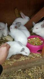 Californian baby rabbits