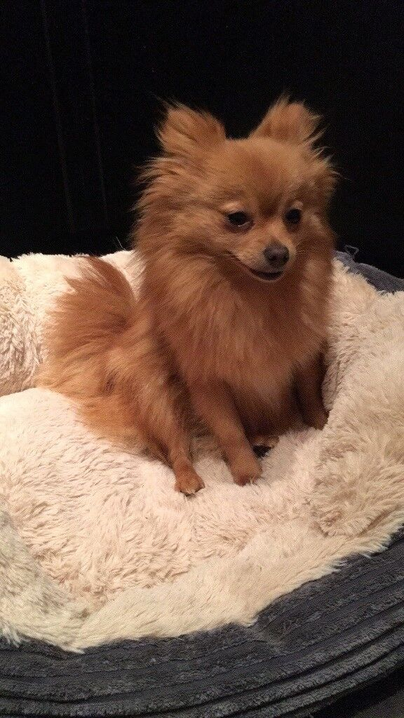17 month old Pomeranian girl for sale
