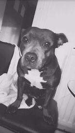 Blue staffie 2 and a half years old. Lovely dog, loves to play and very loving