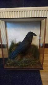 Stunning taxidermy cased raven