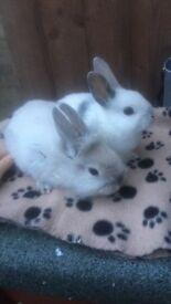 Male bunnies