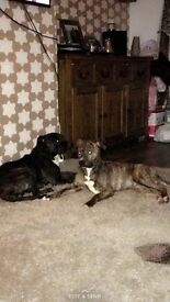 Forever homes needed - our 2 one year old staff cross boys
