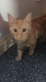 Ginger female kitten for sale 5 months old flead and wormed