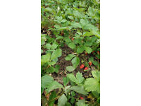 Strawberries Plants - Truskawki