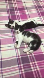 Two 8 week old kitten £75