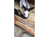 2 beautiful Female Rabbits