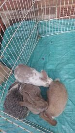 9 week old baby rabbits for sale