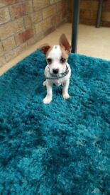 Jackawawa puppy looking for forever home