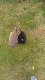 Two boy rabbits with house