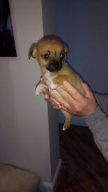 1 Stunning Tiny Jack X Chihuahua Boy Puppy