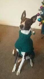Whippet/greyhound