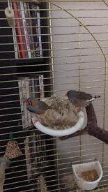Beautiful male and female zebra finches birds, cage food and nesting material etc
