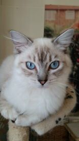 RAGDOLL READY FOR NEW FOREVER HOME
