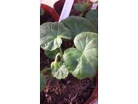 Geranium - Rose - Live young plant