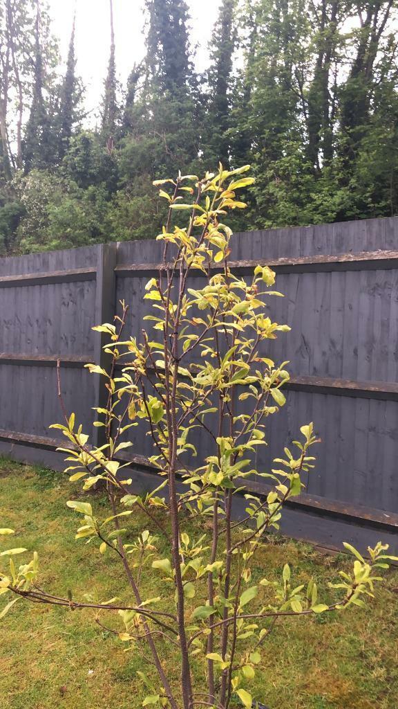 Magnolia Tree In Carlton Nottinghamshire Gumtree