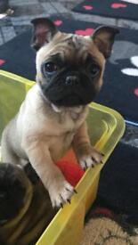 Pug x French bulldog pups