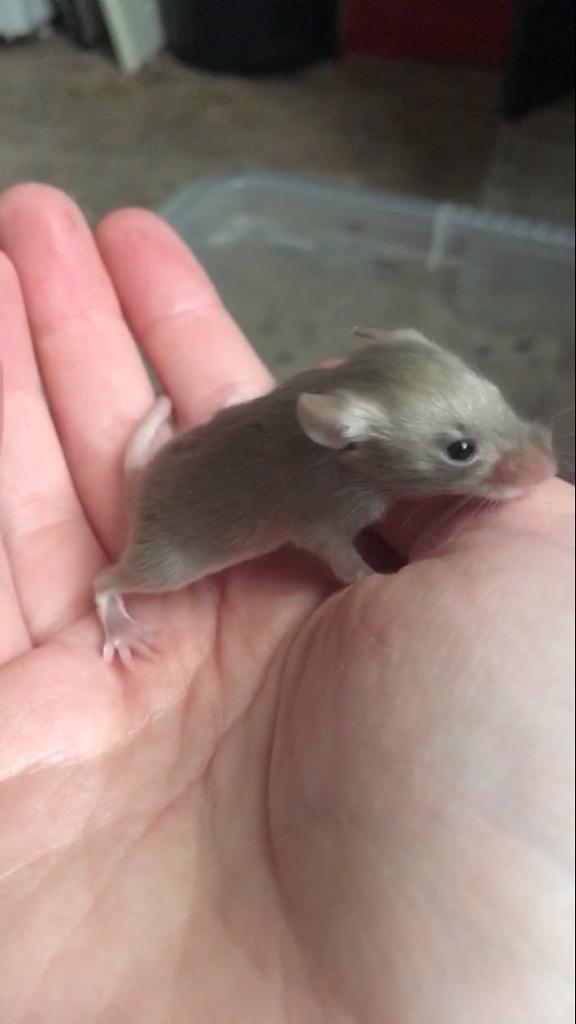 Male mice