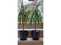 Pair of indoor plants with pots £20