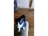 4 month female tabby and white kitten for sale