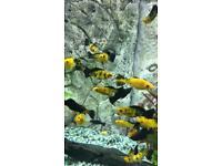 Fish Molinesia