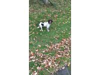 Sprocker Spaniel 6 Months Old Good Home Required