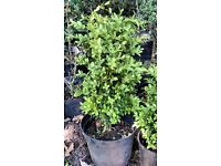 Buxus Topiaty,Hedges Plants.