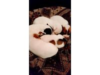 Jack russell puppies x5 for sale