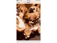 Tibetan spaniel puppies ( only 1 girl left)