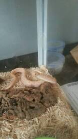 Albino anaconda western hognose and setup!! REDUCED!!